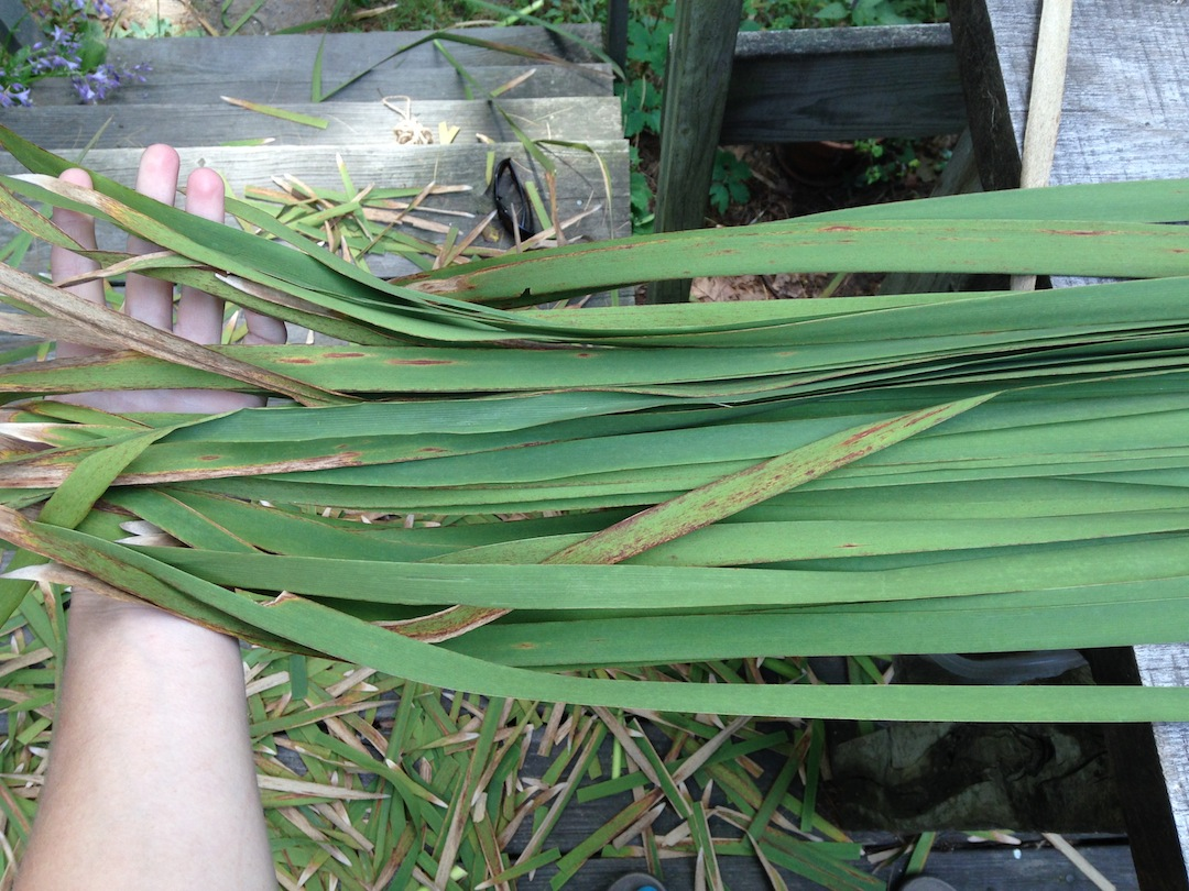 Harvesting Cattails For Basketry: The Basics and Beyond