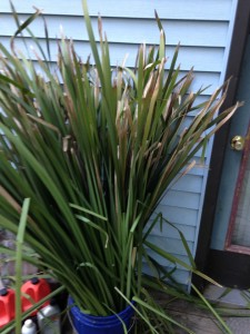 organizing cattails for basketry