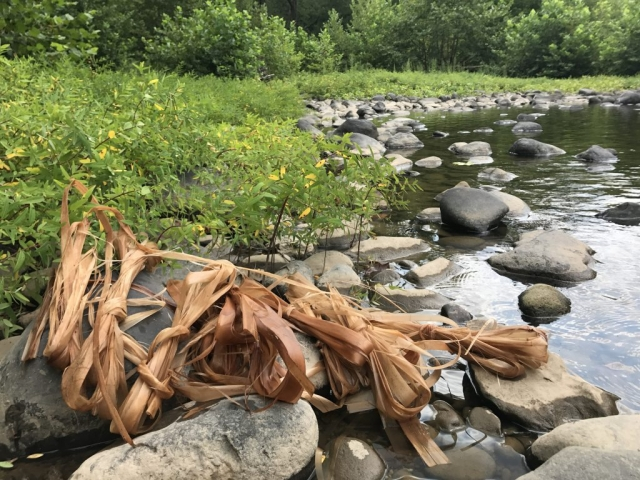Basswood fiber on the shore of the river