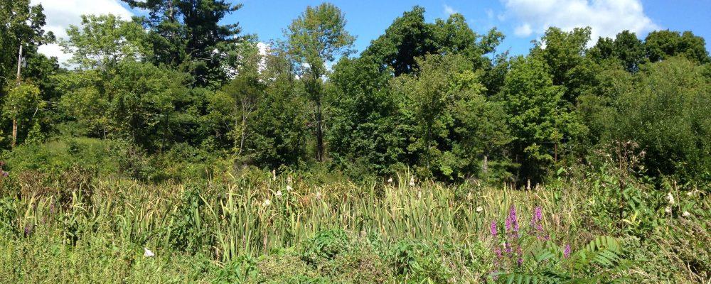 The Cattail Marsh