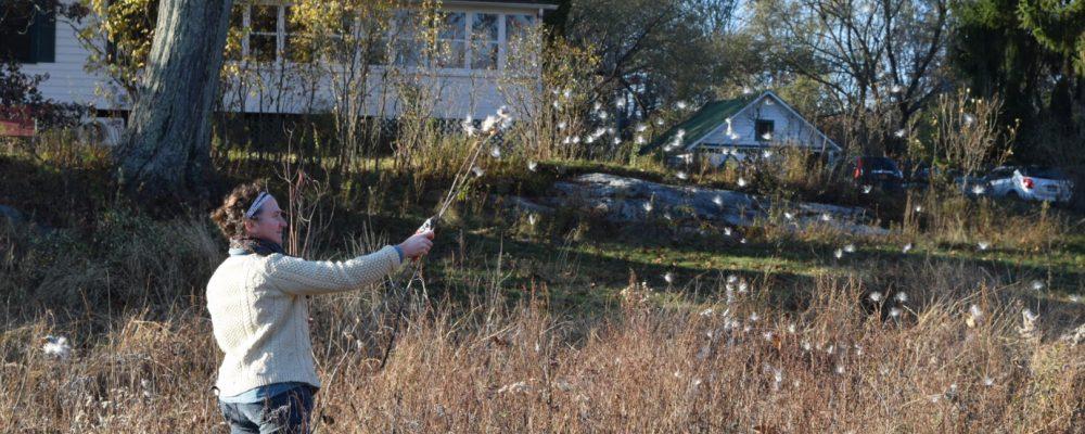 Harvesting Milkweed Fiber