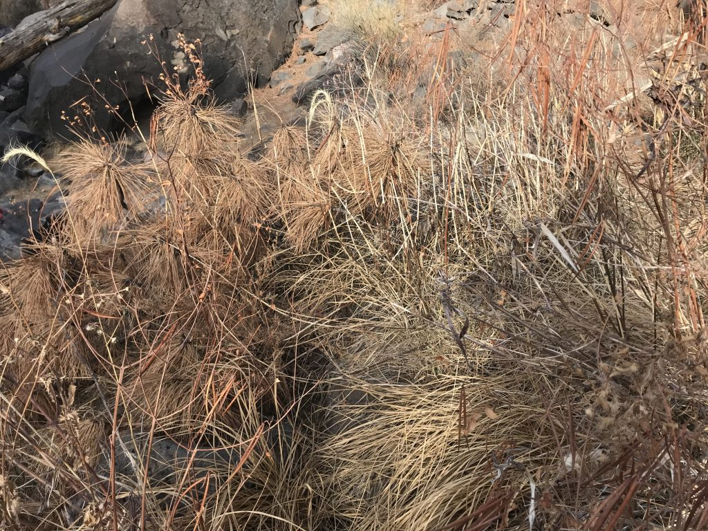 Four basketry materials in one tiny spot along the Rio Grande! Horsetail, pine needles, grasses, and dogbane.