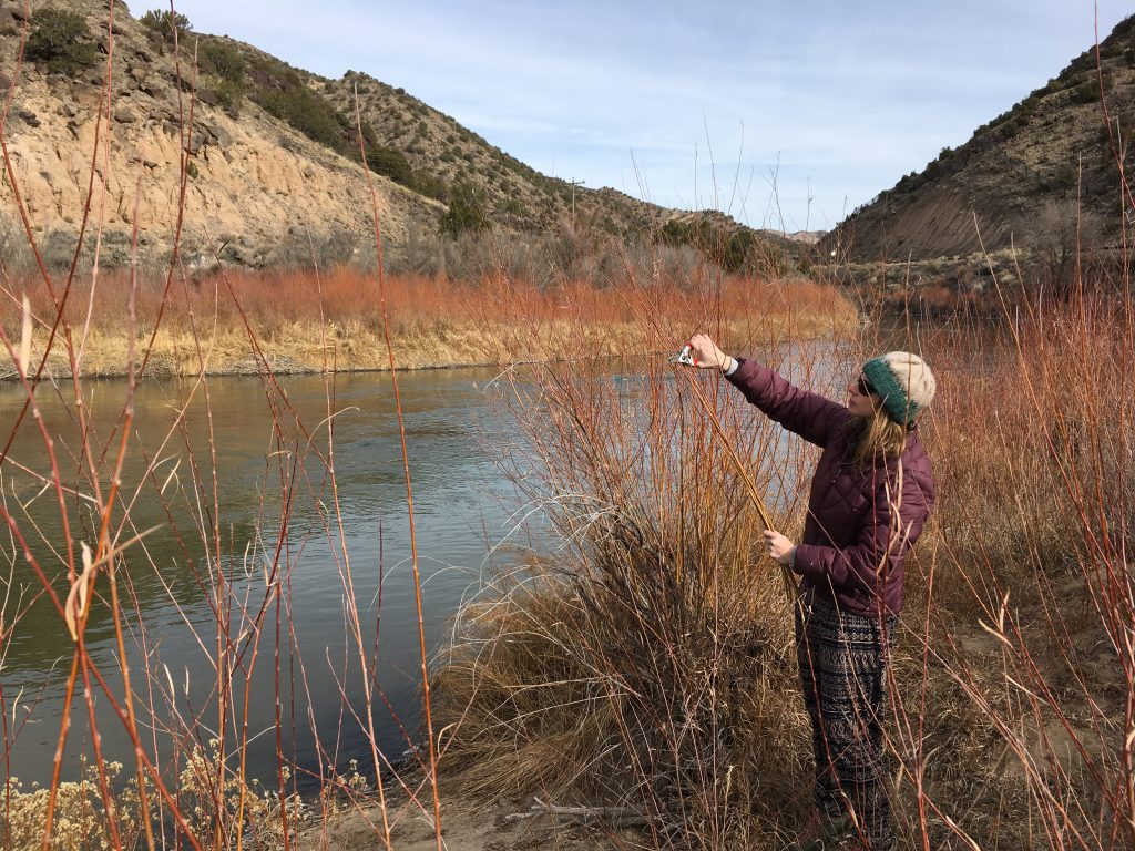 harvesting red willow in taos