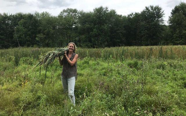 Harvesting Cattail